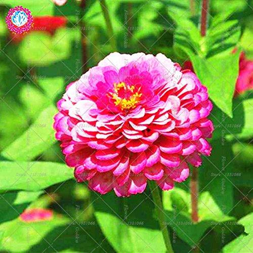Véritable Zinnia elegans 50pcs Véritable fleur Bonsai Graines vivaces Facile Pour Cultivating balcon plantiation Garden Courtyard Potted 3