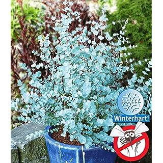 AIMADO Samen-Rarität 10 Stück Eukalyptus Samen Blumensamen azurblaue Winterhart mehrjährig,Bonsai samen Pflegeaufwand: gering,eignet sich sehr schön zur Kübelpflanzung