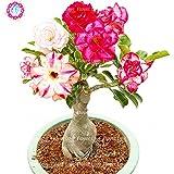 Semillas raras pétalos de rosa del desierto dobles, Adenium obesum Semillas Semillas Bonsai Flores Perenne Balcón Planta de tiesto para purificar el aire
