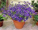 Blumensamen Blau Pimpernel Jahres