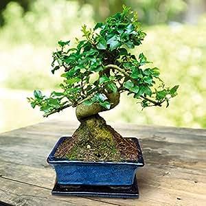 Bonsaï Ligustrum 7 ans - 1 arbre