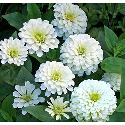 premier-seeds-direct-zin09f-2-g-zinnia-giant-polar-bear-finest-seeds-pack-of-220
