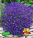BALDUR-Garten Winterharter Bodendecker Blaukissen 'Cascade Blue', 3 Pflanzen Aubrieta mehrjährig Steingarten Staude