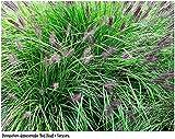 Asklepios-seeds® - 1000 graines de Pennisetum Alopecuroides,Herbe fontaine