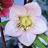 Nieswurz rosa - 1 pflanze