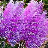 Fash Lady Niedrigster Preis300 purpurrote Pampas-Grasbonsais Ziergrasanlage für den Garten, der seltene Blume, DJRXLF pflanzt