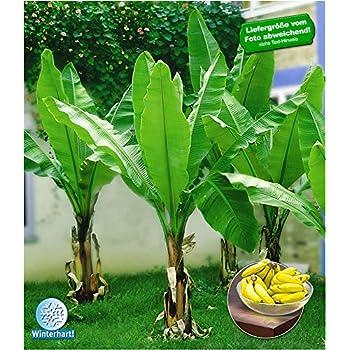 Top BALDUR-Garten Winterharte Bananen 'grün' Faserbanane Bananenbaum #VN_07