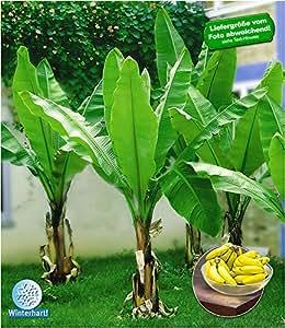 baldur garten winterharte bananen 39 gr n 39 faserbanane bananenbaum 1 pflanze musa basjoo. Black Bedroom Furniture Sets. Home Design Ideas