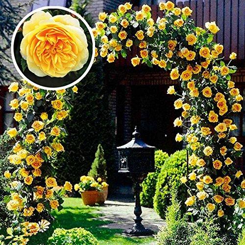 SSXY Kletterrose Samen, Multi-Colorful Balkon Zäune Dekor Pflanzen Blumen Kletterpflanzen für Gärten (100 Stück) - gelbe Rose