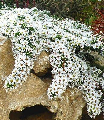 BALDUR-Garten Winterharter Bodendecker Steinaster 'Snowflurry', 1 Pflanze Aster ericoides von Baldur-Garten auf Du und dein Garten