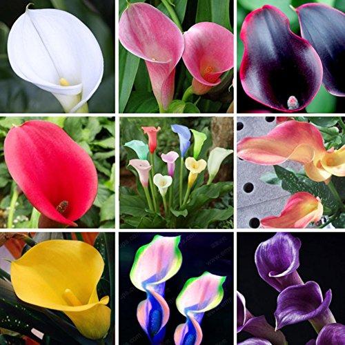 KAYI 100 Pièces Calla Lily Graines De Fleurs Rare Multicolore Jardin Plantes Graines