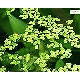 Algenhemmende, winterharte Schwimmpflanze für Teich und Aquarium - Wasserlinsen - Lemna minor - Garnelio Portion