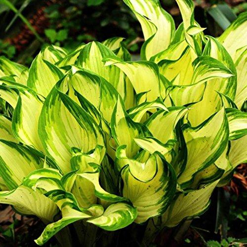 Soteer Garten - 50 Stück Riesen Funkie Samen Hosta Blumensamen mit extra großen Blättern hosta winterhart mehrjährig für Steingarten, schattigere Plätze geeignet (Hosta-samen)