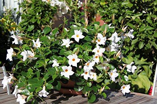 3-piante-di-dipladenia-bianca-vaso-14cm-sempreverdi-e-rampicanti-mandevilla