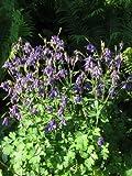 Staudenkulturen Wauschkuhn Aquilegia vulgaris