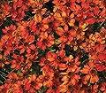 lichtnelke - Mädchenauge (Coreopsis ) Pumpkin Pie von Lichtnelke Pflanzenversand auf Du und dein Garten