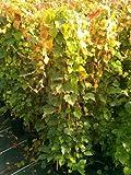 wilder Wein Parthenocissus tricuspidata Veitchii 100 cm hoch im 3 Liter Pflanzcontainer
