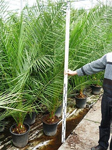 Kanarische Dattelpalme - Phoenix canariensis- Gesamthöhe: 200+cm - Topf Ø 40cm - PALETTENVERSAND INNERHALB DEUTSCHLAND