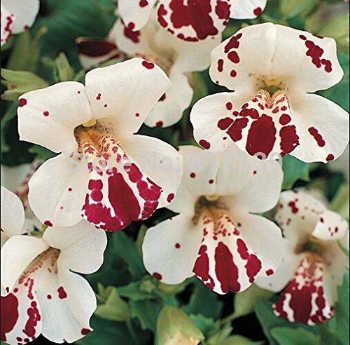 OBI Mimulus grandiflora