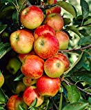 MELO ELSTAR NANO IN VASO 20CM piante da frutto nane vaso