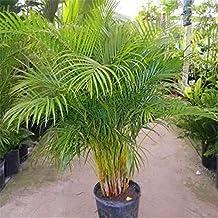 Amazones Palmeras Plantas De Jardin