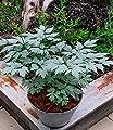 """BALDUR-Garten Actaea """"Misty Blue®"""",1 Knolle von Baldur-Garten auf Du und dein Garten"""