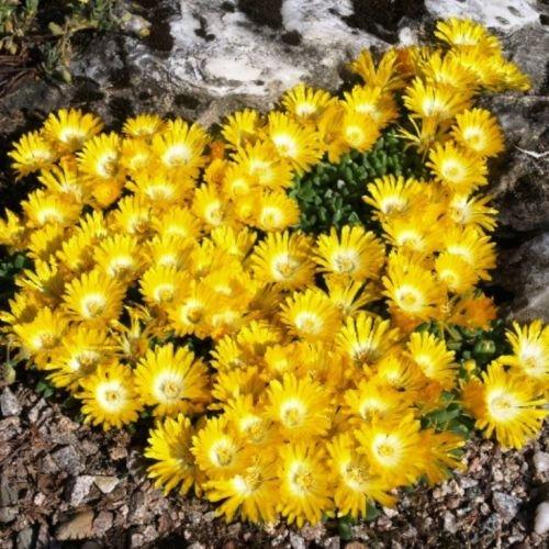 Future Exotics Delosperma congestum Winterharte gelbe Mittagsblume, 20 Stück
