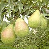 Köstliche von Charneux, schmelzend süße Herbstbirne, Halbstamm ca. 150-170 cm, Unterlage Sämling