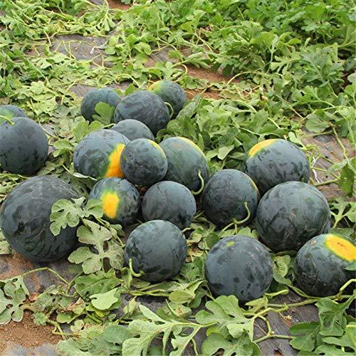 AGROBITS Graines de pastÚque noir Super Sweet melon d'eau usine de légumes fruits trÚs nutritifs Accueil Jardinage 10 graines/paquet