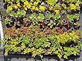 Sedum - Pflanzenpaket Halbschatten I für 4 m² Dachbegrünung, Steingarten, Mauerbepflanzung, etc.