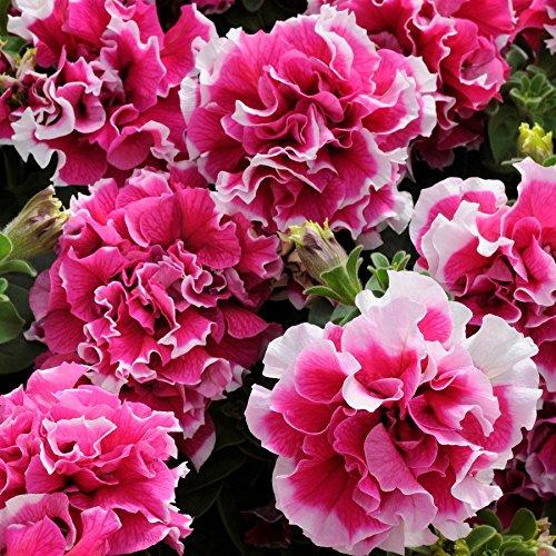 petunia-pirouette-rose-and-white-tray-of-20-medium-plug-plants