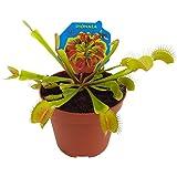 Dionaea Muscipula Planta Carnívora Venus Atrapamoscas en Maceta Pequeña