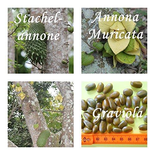 Annona Muricata (Graviola) - 50 Samen - Stachelannone - Graviola !!