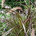 lichtnelke - Lampenputzergras (Pennisetum) Summer Samba von Lichtnelke Pflanzenversand auf Du und dein Garten