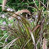 lichtnelke - Lampenputzergras (Pennisetum) Summer Samba