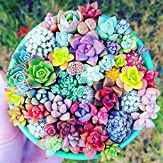 PVS 100PCS Mixed Beauty Succulents Plant Easy to Grow Mini Potted Flower Plant-Color 1