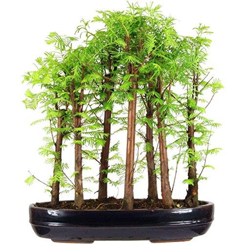 metasequoia-bonsai-10-ans-49cm