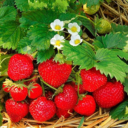 AIMADO Samen-50 Stück BIO-Erdbeere Obst Samen aromatische Früchte Saatgut für Ihren Balkon, Terrasse & Garten! (Samen Erdbeere)
