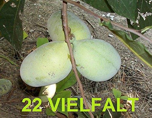 Indianerbanane 80-140cm! 22 Vielfalt Asimina triloba gepfropft frosthart -25°C