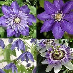 Clematis Blau Mix - 4 Pflanzen kaufen / 3 bezahlen (4 x 1,5 Liter Topfen) - Winterhart | Passiflora, Clematis The president/Multi Blue/Macropetala - ClematisOnline Kletterpflanzen & Blumen