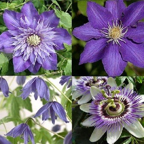 Blu (clematidi combinazioni) - 4 vasi da1,5 litri (piante rampicanti - 4 clematidi - pianta adulta - resistenza al freddo: ottima) - muri e recinzioni, pergola, balconi e terrazze | clematisonline