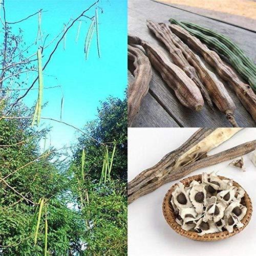 plat firm semi di germinazione: wonderful life 50 +++ super rara moringa. oleifera samen bio essbare pflanzen