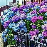 Teaio 20 Stücken Hortensien Samen Blumensamen Mehrjährig Winterhart Sommer Blühen Samen Blumen Geschenk für Kinder Blumen Mischung Hortensiensamen