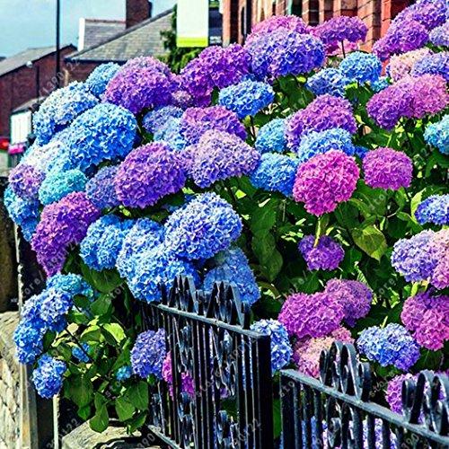 Wann Blüht Hortensie