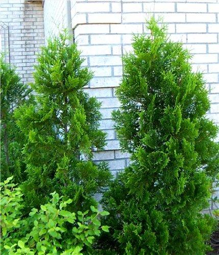 """Thuja Lebensbaum\""""Brabant\"""" 60-70 cm 20 St. Hecke Heckenpflanze"""