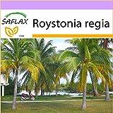 SAFLAX - Palma reale cubana - 8 semi - Roystonia regia