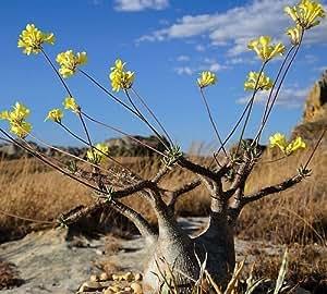 Pachypodium rosulatum var. gracilis - palmier de Madagascar - 3 graines