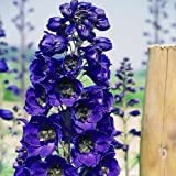lichtnelke - Rittersporn (Delphinium Pacific Giants BLACK KNIGHT)