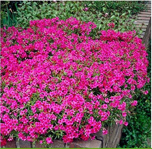 Adolenb Jardin- 100 plantes grimpantes couvre-sol Semences de fleur de polstérophloxre de thym hardy vivaces à feuilles persistantes thym plantes cheminées/rocailles (#05)