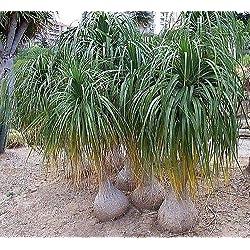 10x Beaucarnea recurvata Elefantenfuß Garten Samen Pflanze Baum frisch B777